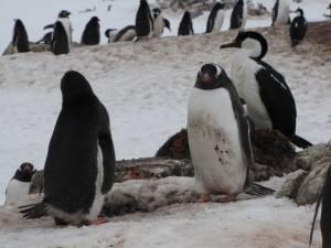 Penguins on Wiencke Island (photo: FTO/Tony Crocker)